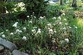 Rhododendron tomentosum 1232.JPG