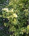Ribes alpinum Aureum - Floraison2.jpg