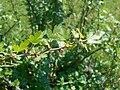 Ribes leptanthum 2017-05-23 0792.jpg