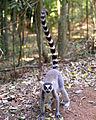 Ring-tailed Lemur (Lemur catta) (8603111613).jpg