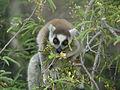 Ring-tailed Lemur (Lemur catta) feeding on tamarind leaves, Tsimanampetsotsa, Madagascar (4309672928).jpg