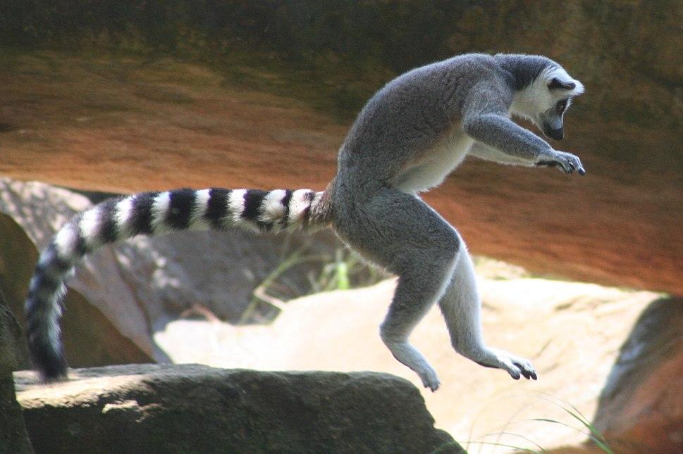 Ring tail lemur leaping