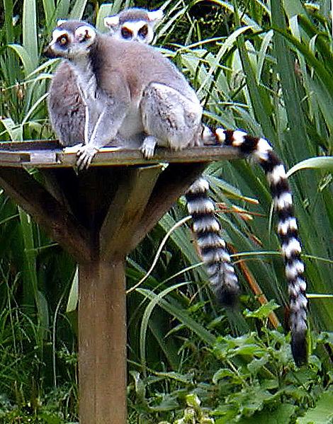 حديقة حيوانات المركز الدولى  - صفحة 2 470px-Ring_tailed_lemurs
