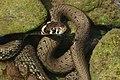 Ringelnatter (Natrix natrix) (9317980884).jpg