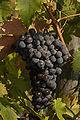 Ripe Wine Grape.jpg