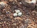 River tern-Nest 06 - Koyna 042011.JPG