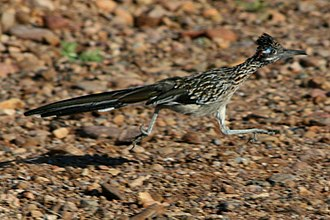 Greater roadrunner - Greater roadrunner on the run