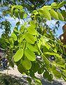 Robinia pseudoacacia 'fraisia' fruit by Line1.jpg