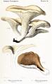 Rolland - Pleurotus cornucopuiae.png