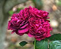 Rosa 'Darcey Bussell' in Auckland Botanic Gardens.jpg
