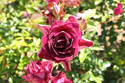 Rosa 'Fragrant Plum'