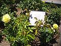 Rosa 'Friesia' Kordes 1973 RPO.jpg