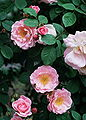 Rosa 'Fritz Nobis'.jpg