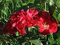 Rosa 'Godewind' 01.JPG