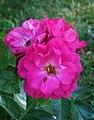Rosa John Cabot1HELLAN.jpg