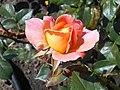 Rosa Rosemary Harkness 2018-07-16 6762.jpg