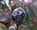 Rosa glauca gall (04).jpg