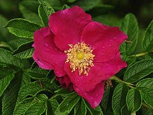 Rosa rugosa - Image: Rosa rugosa 2010