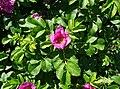 Rosa rugosa inflorescence (28).jpg