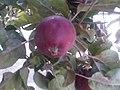 Rosales - Malus domestica - 18.jpg