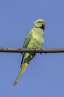Rose-ringed parakeet (Psittacula krameri borealis) male near Jaipur