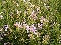 Rosmarinus officinalis (Barlovento) 03.jpg