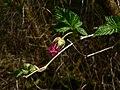 Rubus spectabilis 39130.JPG