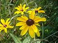 Rudbeckia hirta in southern Maine.jpg