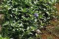 Ruellia tuberosa (Wayside Tuberose) in Hyderabad W IMG 9015.jpg