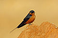Rufous-chested Swallow, Sakania, DRC (14900028966).jpg