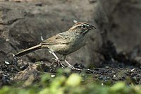 Rufous-crowned Sparrow - Texas - USA H8O3238 (22763232884).jpg