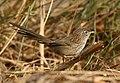 Rufous-vented Prinia (Laticilla burnesii) (34675407315).jpg