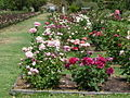 Ruston's Rose garden 11.JPG