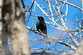 Rusty Blackbird in Brooklyn 1.jpg
