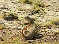 Saara Hardwickii Spiny-Tail Lizard.jpg