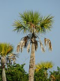 Sabal palmetto (habitus).jpg