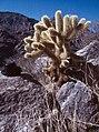 Saguaro National Park-08-Teddy-Kaktus-1980-gje.jpg