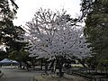 Sakura of Unomori park , 鵜の森公園の桜 - panoramio (4).jpg