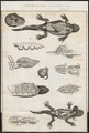 Salamandra maculosa - ingewanden - 1700-1880 - Print - Iconographia Zoologica - Special Collections University of Amsterdam - UBA01 IZ11400085.tif