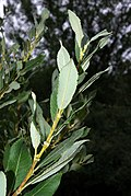 Salix cinerea 02 by-dpc.jpg