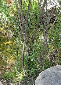 Salix exigua 9.jpg