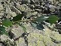Salix helvetica a2.jpg