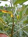 Salix lemmonii (5027509674).jpg