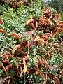 Salvia aurea 1c.JPG