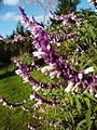 Salvia leucantha.jpg