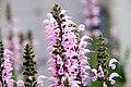 Salvia nemorosa Eveline 0zz.jpg