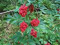 Sambucus racemosa a2.jpg