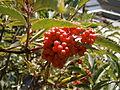 Sambucus racemosa fruits 01.jpg