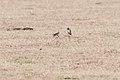 Sand Martin (29811707143).jpg