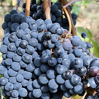 Wine fraud - The rumors that grapes other than Sangiovese (pictured) was being used in the production of Brunello di Montalcino triggered an investigation into the potential wine fraud.